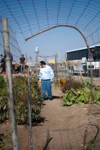 I take a walk through the rows of tomatoes, squash, and basil at the Pixley community garden. (Photo by Andre Yang)